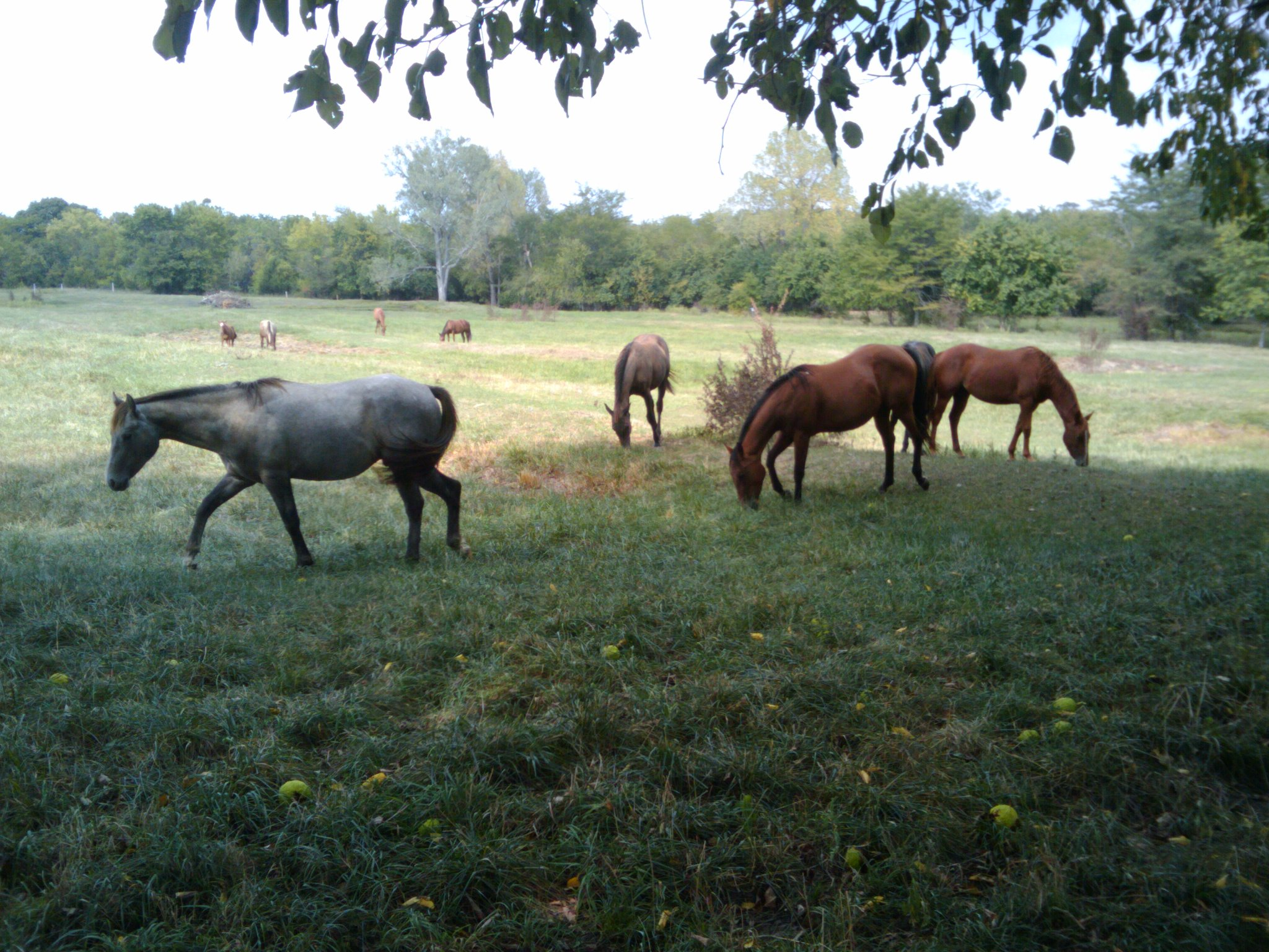 Horses in the Pasture - Kansas